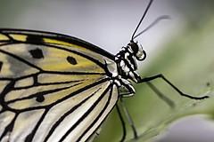 _MG_3265 (Dinoso_60) Tags: mariposa mariposas