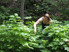 Picking berries (briandjan607) Tags: summer woman nature up leaves sunshine sunglasses lady forest outdoors quiet berries looking michigan hunting hike thimble reach pick picking 2012 searching secluded bending thimbleberry berrypicking berrypatch