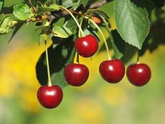 cherries P7033616 (hlh 1960) Tags: light red summer nature fruits licht cherries colours bokeh sommer natur summertime obst kirschen ernteharvest schttenmorellen