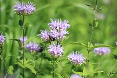 IMG_4699 (Church Of Sagan) Tags: nyc flowers summer ny nature bees perfectday rooseveltisland
