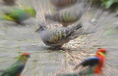 Backyard BIrds Zoom (john.dart) Tags: sigma australianbirds nikond3200 birdsinbackyards wabirds sigma150500mm johndart johndartalbany munsterbirds