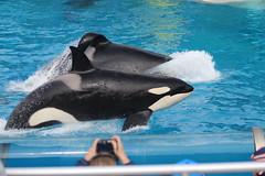 IMG_5196 (princesskoko) Tags: orca seaworld killerwhale sandiegoca seaworldsandiego
