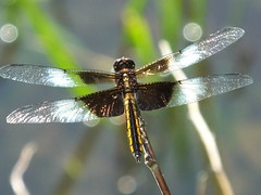 Immature Widow Skimmer (RonG58) Tags: pictures new trip travel light usa color macro male nature geotagged photography us photo spring day image photos dragonfly live wildlife maine picture insects images bugs photograph digitalcamera immature exploration widowskimmer skimmer photooftheday picoftheday libellulaluctuosa elbicho fugifilm wilsonpond konchuu elinsecto dasinsekt northmonmouth rong58 finepixhs50exr
