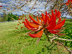 Coral... (elphweb) Tags: coraltree coral tree hdr fhdr coraltreeflower coralflower blossom bloom