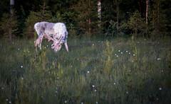 albino (torivonglory) Tags: lapland lappland lappi landscape landschaft finland finnland midsummer midnightsun summer sommer sonnenuntergang sunset sunny nationalpark alivingdog canon canon6d 6d