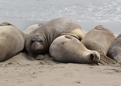 Dreamin' (tourtrophy) Tags: elephantseals wildlife marinewildlife beach hwy1 pacificcoastalhighway canoneos5dmark3 canonef70200mmf28lisusmii sleep nap