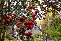 berries & smoke in the garden (grahamrobb888) Tags: nikond800 sigma20mmf18 birnam tighnabeithe perthshire scotland autumn berries fruit bokeh garden