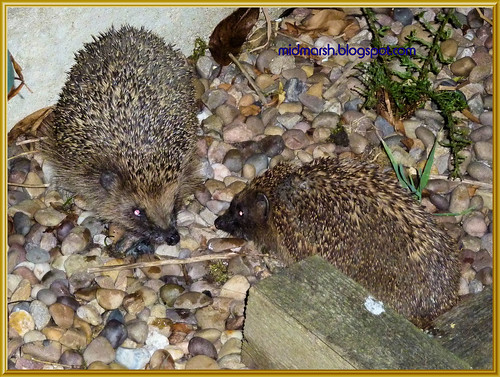 Snuffling Hedgehogs 2