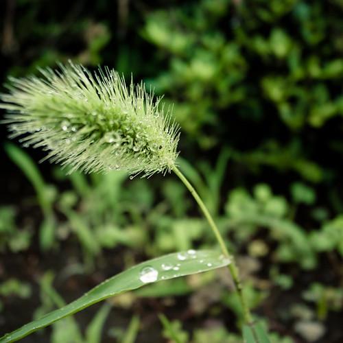 Twinkle Weed