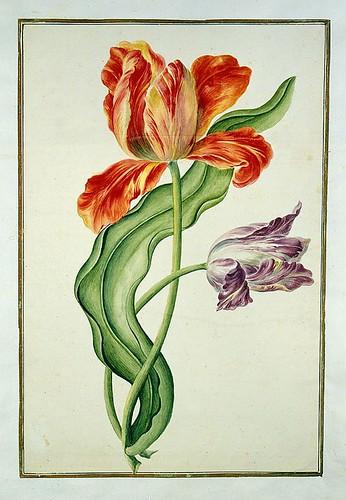 008-tulipan8-Karlsr-uher Tulpenbuch - Cod. KS Nische C 13- Badische LandesBibliotheK