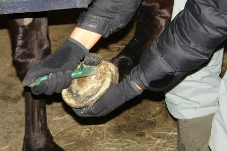 Picking out a hoof, horse care, stable management, horse training, horse training ontario