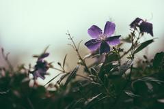 Cloudy Purple