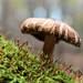 "Mushroom on moss • <a style=""font-size:0.8em;"" href=""http://www.flickr.com/photos/124671209@N02/14027322709/"" target=""_blank"">View on Flickr</a>"