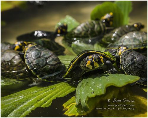 Taricaya turtles
