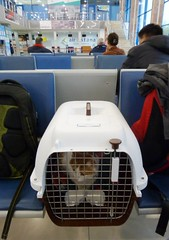 To pastures (deserts) new ... (berik) Tags: cat ginger flying moving airport chat box transport catalog katze crate kazakhstan gatto kennel kot kiska atyrau airastana expatcat