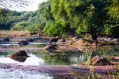 Colorful Swamp (_Amritash_) Tags: wild india nature colors wildlife swamp sanctuary birdsanctuary nilgai sultanpur swampland bluebull prevening colorfulswamp