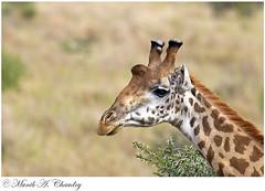 The Tallest of them All! (MAC's Wild Pixels) Tags: kenya nairobi ngc npc giraffe nairobinationalpark macswildpixels