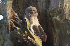 Little Owl (Paul Miguel) Tags: uk morning light england west cute bird nature fauna pose early oak european nest little wildlife yorkshire small north young rental farmland fluff chick hide workshop owl british prey fledging fledge