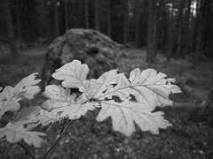 Forest has lots of leafs (Kirppu_81) Tags: blackandwhite mustavalko epl3 tampere lokakuu