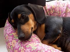 Nalu (docerrado) Tags: dachshund cachorro teckel nalu