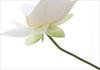 White Lotus Flower Series - IMG_2585-1000 (Bahman Farzad) Tags: white flower macro yoga peace lotus relaxing peaceful meditation therapy lotusflower lotuspetal lotuspetals mimamorflowers lotusflowerpetals lotusflowerpetal