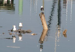 PICT0021 copy (Jonathan Riverwalker) Tags: seagulls birds reflections boats blurry fishing rocks harbour piers calm oil oily wavy digby glassy