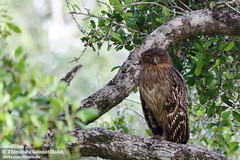 Skeptic Owl (Thimindu) Tags: bird birds wildlife nationalparks yalanationalpark brownfishowl ketupazeylonensis bubozeylonensis bubozeylonensiszeylonensis srilankanbrownfishowl