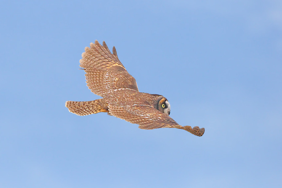 Long-eared-Owl-051111