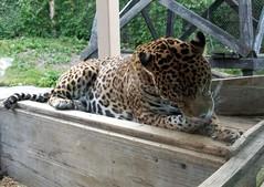 Jaguar_61811c