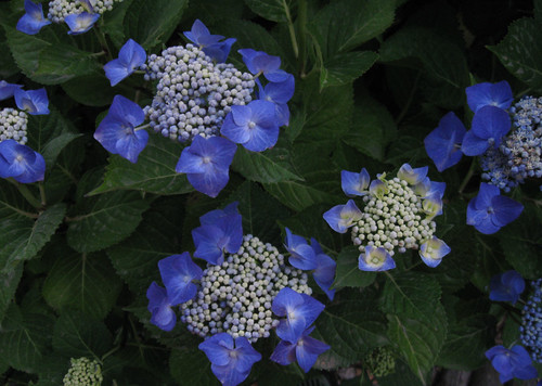 Hydrangea blue white june11