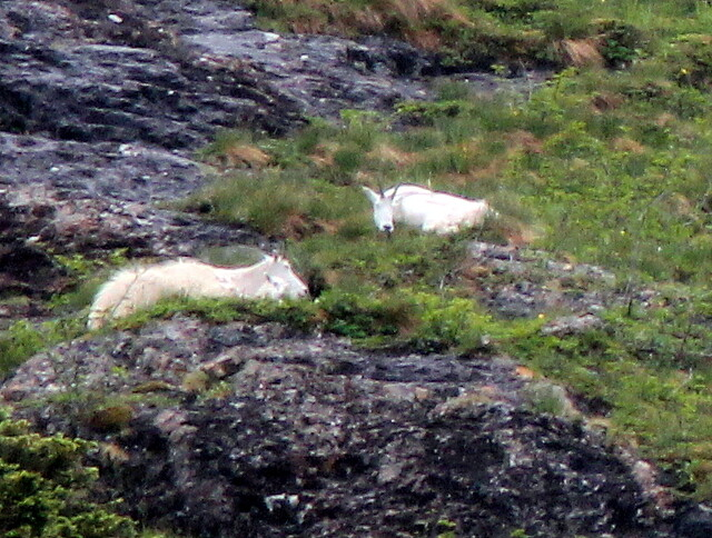 Mountain Goats distant 20110625