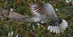 In Flight (aaron_eos_photography) Tags: summer tree nature birds garden inflight pigeon dove goldfinch sunday july bluesky wingspan overhead doves collareddove gardenwildlife wingspread nygerseed birdwildlife