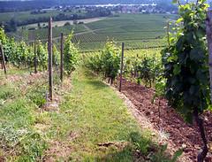 La OIV premia un trabajo sobre la utilización de cubiertas vegetales en el viñedo