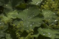 droplets on a leaf 2 (René Mouton) Tags: holland water amsterdam droplets groen nederland thenetherlands blad noordholland druppels northholland amsterdamzuid