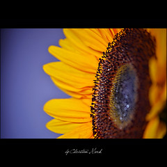 bring the sunshine back (Christian Merk) Tags: flowers blue light flower green nature sunshine yellow photography photo back nikon photos christian sunflower bring mygearandme merkchristianmerksmugmugcom