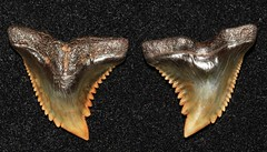 Snaggletooth (Hemipristis Serra) (Fossiltoothpic) Tags: macro animal animals canon tooth fossil shark teeth paleontology snaggletooth hemi prehistoric extinct fossils sharkteeth sharktooth 100mmmacro miocene serrations canoneos7d fossilsharktooth fossiltooth hemipristis fossilteeth