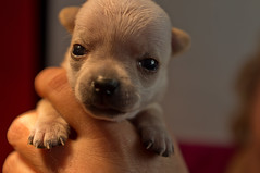 three weeks old (expatwelsh) Tags: dog chihuahua puppy hond cs5