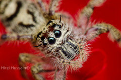 Hyllus Diardi (Zeen.) Tags: portrait hairy macro nature face nikon singapore arachnid insects bugs eight arachnology arthropod macrophotography zeen salticid 105mm salticidae hirzi d7000 elitebugs