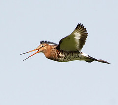 Grut Op! (Ger Bosma) Tags: bird dutch flying wings europe european wildlife flight thenetherlands birdsinflight soaring 130 bif birdinflight godwit grutto blacktailedgodwit limosalimosa flyingbird thegalaxy waderbird uferschnepfe agujacolinegra bargequeuenoire waadvogel pittimareale mygearandmegold dblringexcellence tplringexcellence flickrstruereflection1 flickrstruereflection2 img45183filtered2 vogelinvlucht