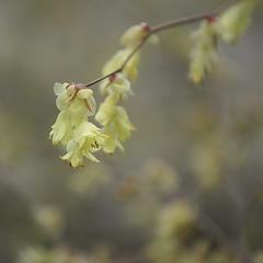 A Louvain - In Leuven (p.franche Occupé - Buzzy) Tags: flower tree fleur leuven spring bokeh sony arbre printemps louvain pfranche