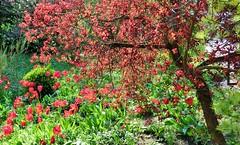 Red Garden (farmspeedracer) Tags: red flower tree nature garden spring bloom olant