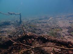 Underwater Schmaler Luzin, Feldberg (yayapapaya77) Tags: plants lake fish germany see underwater pflanzen diving fisch perch feldberg barsch mecklenburgvorpommern tauchen unterwasser schmalerluzin canonpowershotg15