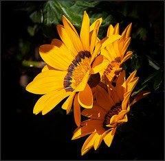 Gazania rigens (Nightgoose) Tags: gazaniarigens gaznia gazannia flor flower canoneost5i canonef100mmf28lmacroisusm cirpl captureone