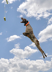Bailey in the clouds (The_Little_GSP) Tags: dog clouds fly flying jump dock diving bluesky germanshorthair gsp germanshorthairedpointer dockdogs extremevertical thelittlegsp littlegspphotography