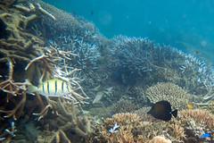 coral fiji snorkeling acropora convicttang lomaiviti wakaya zebrasomascopas convictsurgeonfish acanthurustriostegus brushtailtang korosea