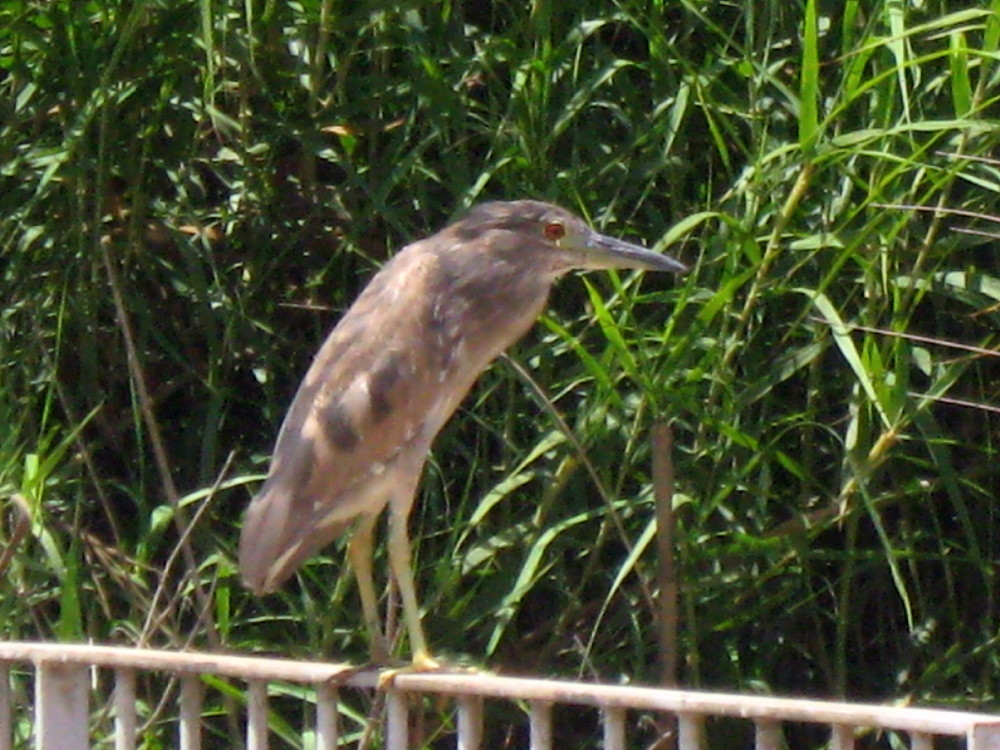 11-06-2011-night-heron-female