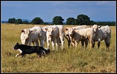 Docky rassemble les veaux (Marcelline21) Tags: nature animal cow cattle sheepdog bordercollie calf marcelline21
