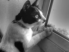 charlie checking out the birds (mystic.muse.nyx) Tags: bw black cat kitty fluffy lolcats