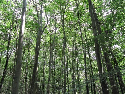Beech woods in summer