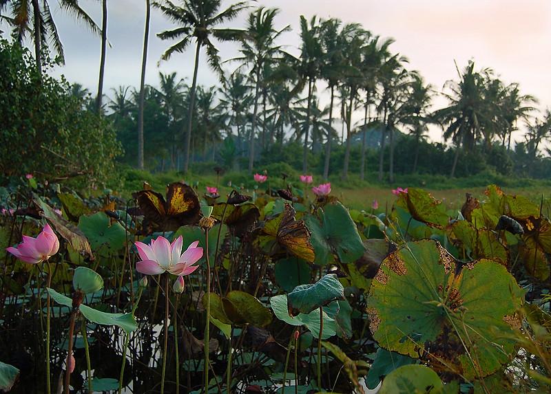 _Bali_lotus_2_